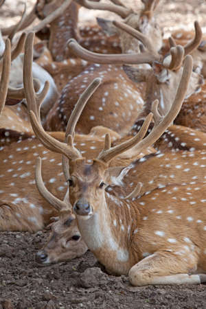 herd of deer: herd of spotty deer in a zoo