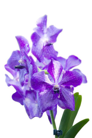 blue orchid: Blue orchid vanda sansai blue isolated on white background Stock Photo