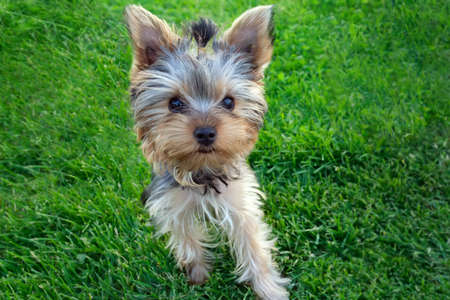 yorkie: Cute Yorkshire terrier puppy(4 months old) standing in the grass. Stock Photo
