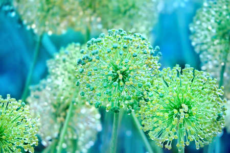 onion flowers: Decorative flowers of onion with water drops in the summer garden