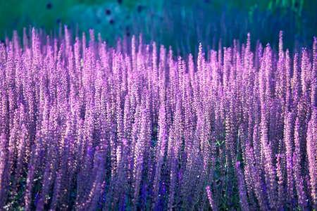 champ de fleurs: Lavande en fleurs dans le domaine. Fleur de fond. Banque d'images
