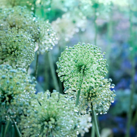 bulb and stem vegetables: Decorative flowers of onion with water drops in the summer garden
