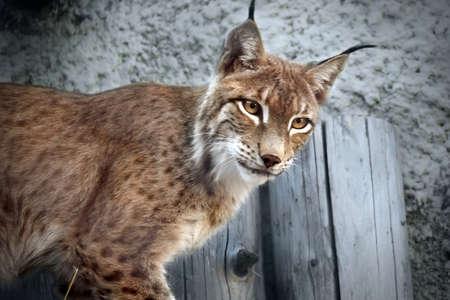 lince: Close-up portrait of an Eurasian Lynx in forest (Lynx lynx)