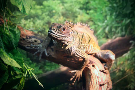 sailfin: Lizard (Sailfin lizard) close-up portrait on natural background
