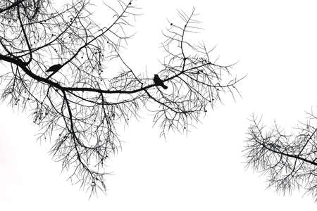 birds in tree: Silhouette of a crow on a coniferous tree on white background.