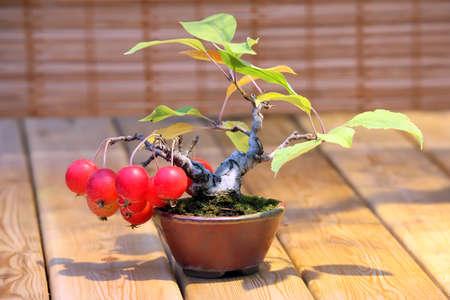 arboles frutales: Bonsai Malus domestica - manzano lleno de manzanas rojas en la olla Foto de archivo