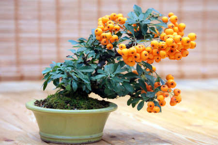 arboles frutales: Bonsai Pyracantha angustifolia -  tree with fruits of orange color in pot