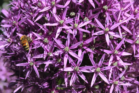 onion flowers: Purple onion flowers with bee. Natural spring background