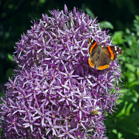 onion flowers: Purple onion flowers with butterfly in spring garden