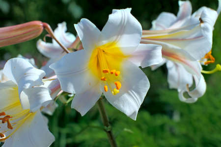 lily buds: White lily flowers in garden