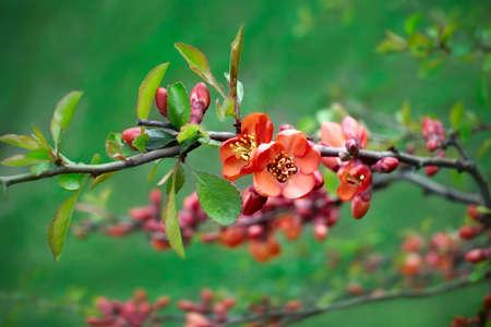 membrillo: Capullos de flores de membrillo en verde Foto de archivo