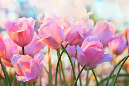 in the greenhouse: Pink tulips in flower greenhouse on  pastel background Stock Photo