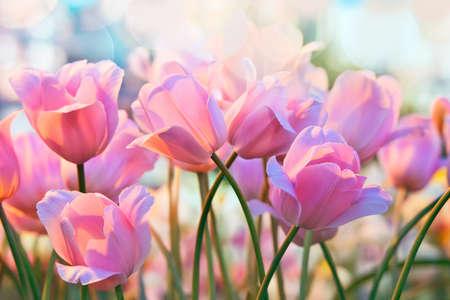 Pink tulips in flower greenhouse on  pastel background Standard-Bild
