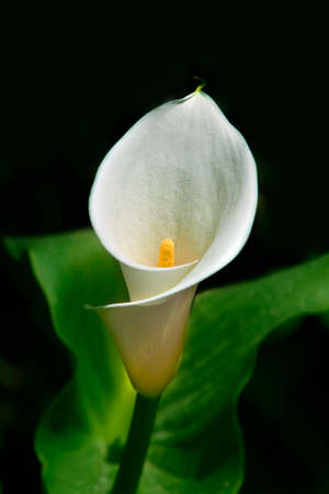yellow stem: White calla lilies, over black background, in soft focus. Stock Photo