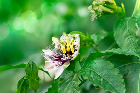fetid: Close up of Blossoming Scarletfruit passionflower  (fetid passionflower,  stinking passionflower)