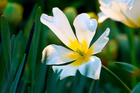 dismissed: White dismissed tulip in spring garden