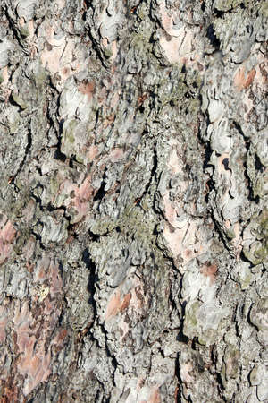bark background: Bark of cedar. Background Stock Photo