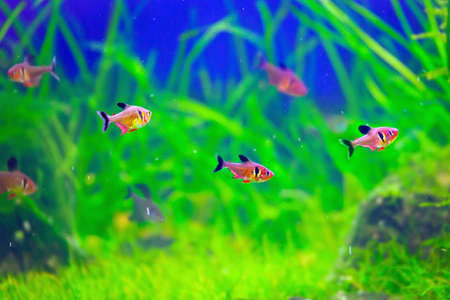 phantom: Red Phantom Tetra fishes in beautiful planted  aquarium