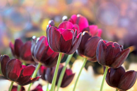 claret: Tulips of claret color in a solar spring greenhouse