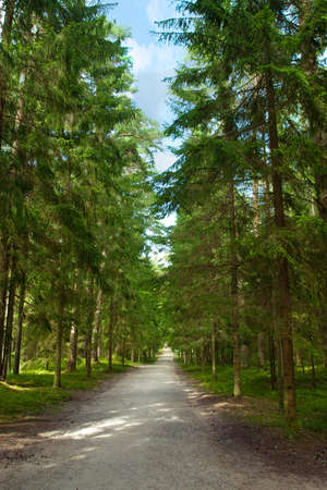 walking path: Walking path in the pine forest