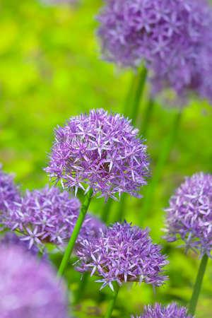 allium: Purple allium flowers at botanic garden