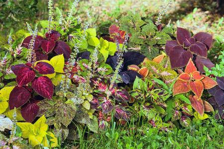 가 다채로운 잎 식물 - Coleus 및 식물원 Hypoestes