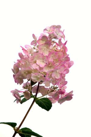 flower petal: Hortensia (Hydrangea Macrophylla) flower on white background