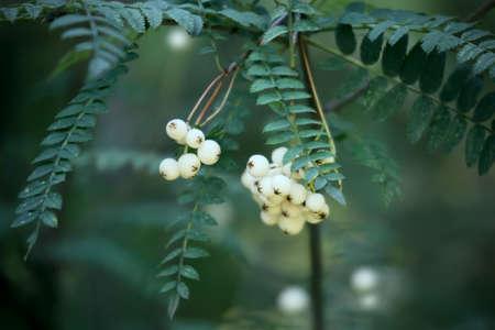 sorbus: White Koehne Mountain Ash plant fruits or Sorbus koehneana