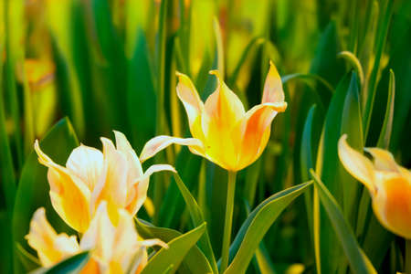 Yellow-orange tulips  in a spring sunny greenhouse Stock Photo