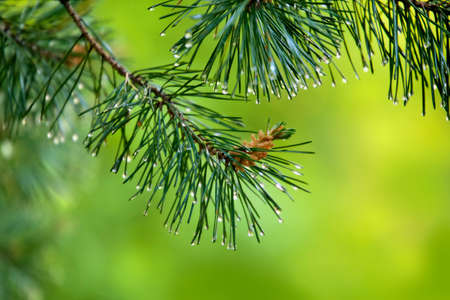 saturated: Branch of pine-tree with young cone and rain drops on needles on  blurred background.