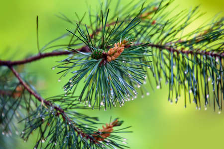 pinetree: Branch of pine-tree with young cone and rain drops on needles on  blurred background.