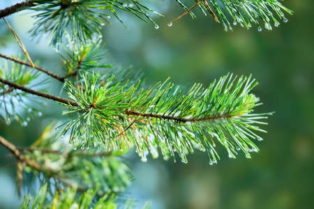 pinetree: Branch of pine-tree with  rain drops on needles on  blurred background. Stock Photo