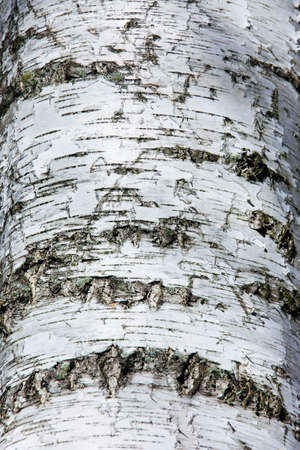 bark background: Birch Bark Texture. Natural background