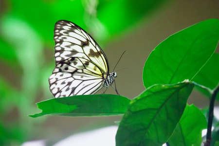 Idea leuconoe butterfly sitting on a leaf in garden