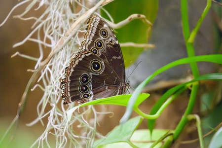 profile: Owl Butterfly Caligo Memnon sitting on a leaf