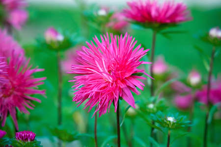 Bright pink aster flower on a flowerbed in a park