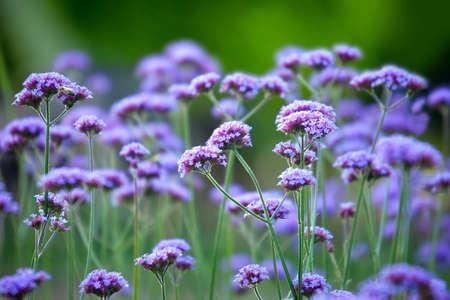 Verbena bonariensis, also know as purpletop vervain, clustertop vervain, Argentinian vervain, tall verbena or pretty verbena