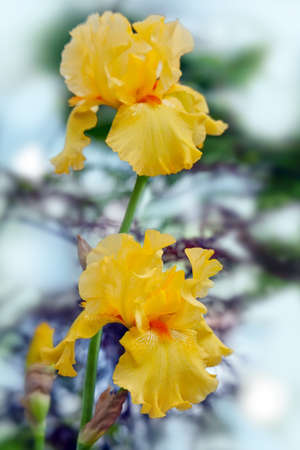 Yellow irises - bright summer flowers  on a blurred background Stock Photo