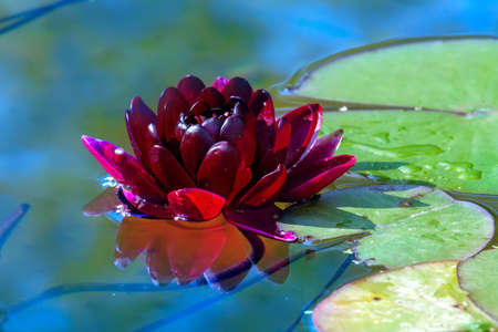 Beautiful claret Lotus, water plant with reflection in a pond Stok Fotoğraf