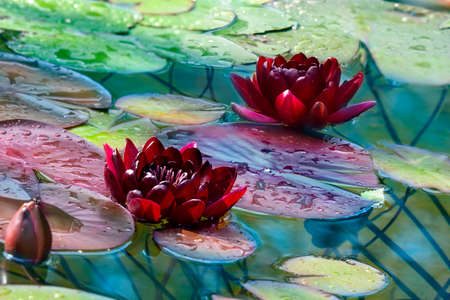 Two claret lilies with bud in a pond in sunny day Stok Fotoğraf