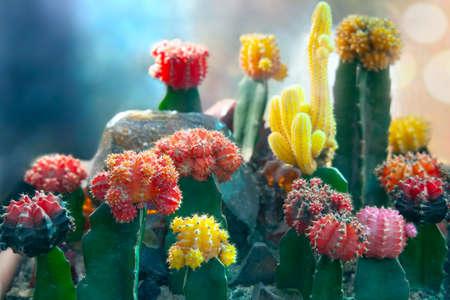 Moon Cactus or Gymnocalycium mihanovichii, the Mutant Cactus Grafted on to Hylocereus Rootstock. Closeup