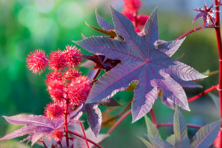 Castor oil plant with red prickly fruits and colorful leaves. Ornamental plant in the flowerbed Banque d'images - 118779973