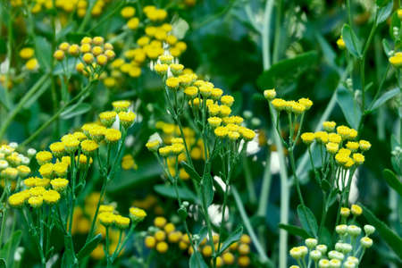 Flowering herbaceous Tanacetum vulgare, tansy plant, used for medical and homeopathic treatment.