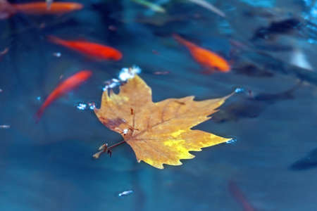 Autumn leaf of a maple on a pond surface with small fishes