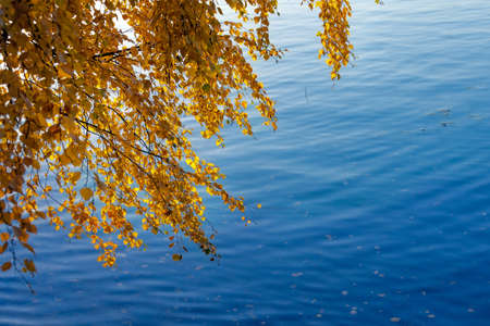 Yellow autumn leaves on birch branches over the blue river in the fall