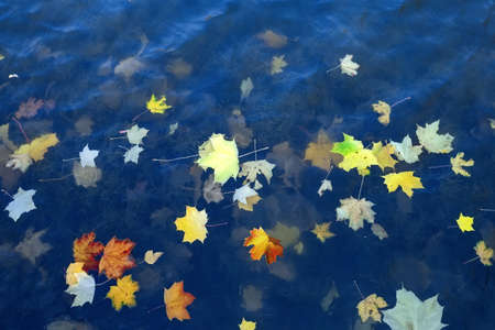 Autumn leaves of a maple on a blue water surface. Autumn mood Фото со стока