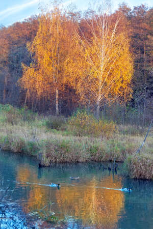 Autumn landscape with the small pond and ducks in the forest Фото со стока