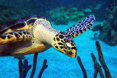 Hawksbill Turtle portrait in blue ocean water Фото со стока