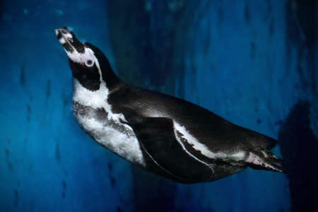Humboldt penguin swimming underwater. Close up