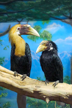 Male and female  Blyth`s hornbill Rhyticeros plicatus, or Papuan hornbill in a zoo Stock Photo